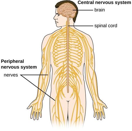 Picture for category Nervous System
